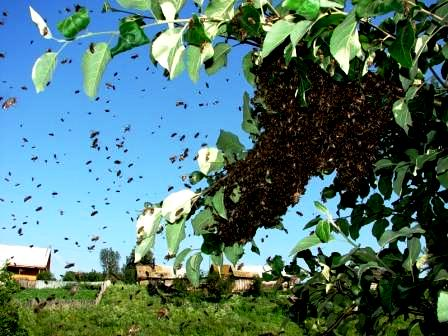 Bee swarms (5)